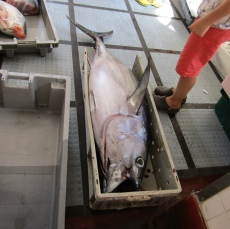 Ouf! Notre premier thon n'était pas aussi gros!!!