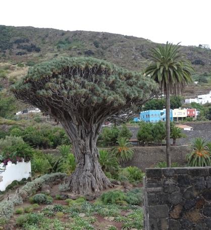le-fameux-arbre-du-dragon